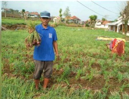 Petani bawang